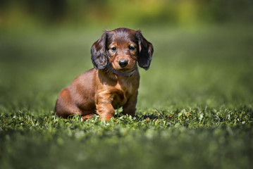 long haired dachshund puppy sitting on grass Wall mural