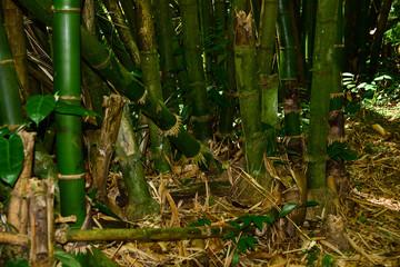 Bambus in der Natur auf Tobago