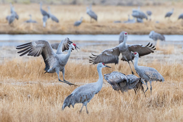 Migrating Greater Sandhill Cranes in Monte Vista, Colorado