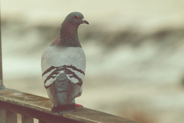 pigeon on a background Fotomurales