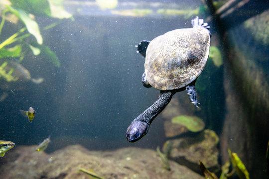 Eastern long necked turtle in water