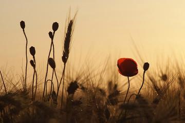 Fototapeta mak i łan zboża, w tle zachód słońca