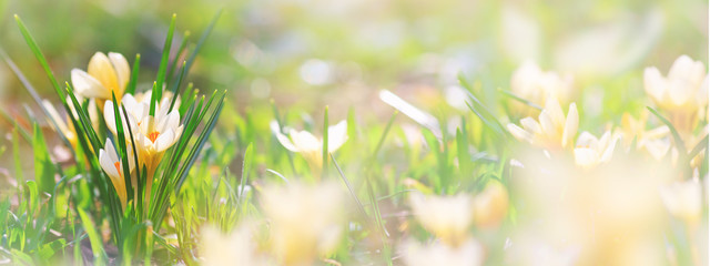 Background, panorama, banner with space for text - close-up of blooming spring flowering plant of the Iridaceae family, .white crocuses, on natural background on a sunny day. Soft selective focus