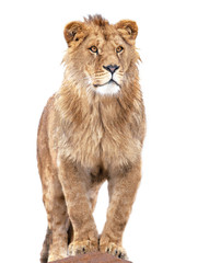 Poster Lion lion stands against isolated on white background