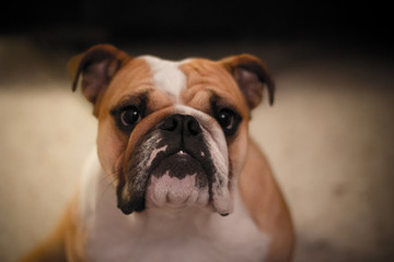 english bulldog in front of black background