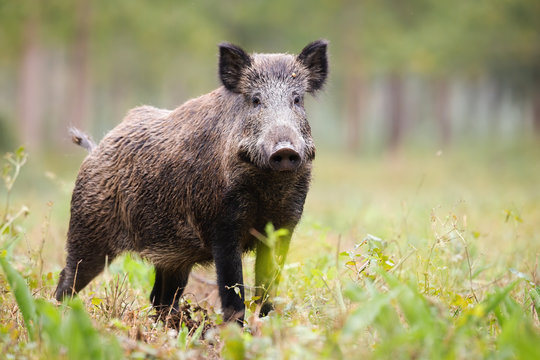 Alert wild boar, sus scrofa, looking into camera on green glade in summer. Attentive wild mammal with brown and back fur listening on meadow from side view. Animal in nature with copy space