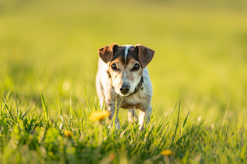 Portrait of a 12 years old Jack Russell Terrier dog outdoor in nature.