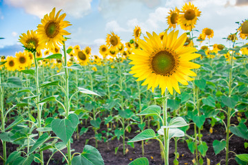 Field of blooming sunflowers under a cloudy sky