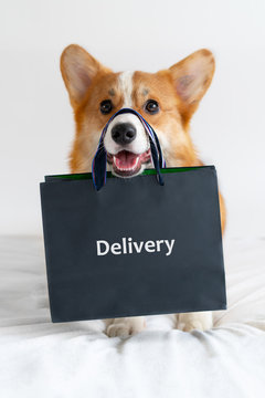 Cute corgi dog holding shopping bag on the nose. Delivery