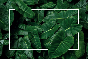 Wall Mural - Tropical leaf pattern nature frame layout of heart shaped dark green leaves philodendron Burle Marx (Philodendron imbe), lush foliage plant on dark background with white frame border..