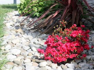 Fototapeten Blumen azalée rouge dans massif floral au printemps