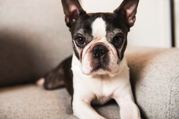 Beautiful boston terrier dog on the home sofa