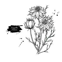Fototapeta Nigella sativa vector drawing. Black cumin isolated illustration. Hand drawn botanical flowers and leaves. obraz