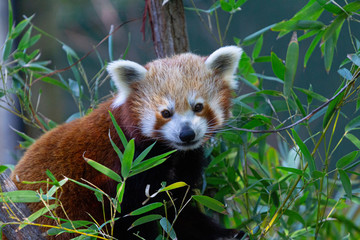 Autocollant pour porte Panda red panda in tree