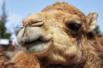 Poster Kameel portrait of camel in desert