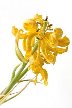Verblühte Tulpe