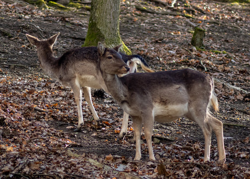 Two deer in the forest park - one watching me one ignoring me