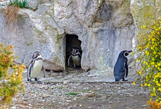 three humboldt penguins keeping distance