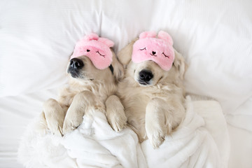 two golden retriever dogs sleeping in pink sleeping mask, top view
