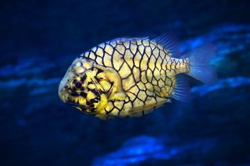Pinecone fish or Cleidopus gloriamaris