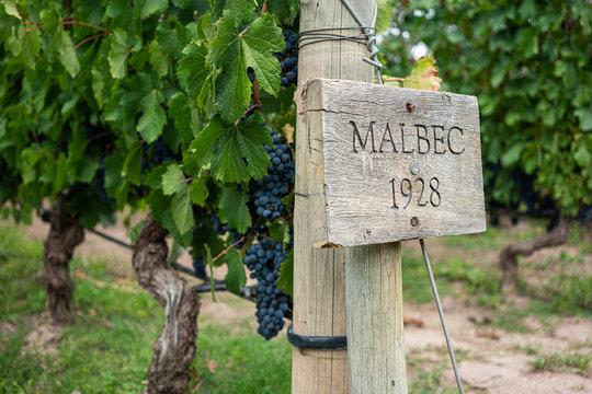 Malbec wineyard
