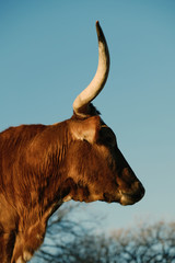 Fototapete - Texas longhorn cow portrait with vintage style in profile view