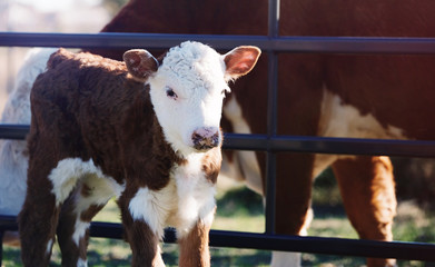 Wall Mural - Young Hereford calf on cow farm close up.