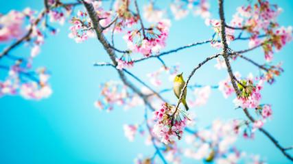 Spoed Fotobehang Kersenbloesem 桜にメジロ