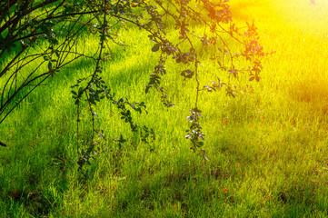 Fotorollo Gelb Shrub branches hanging down on a fresh green lawn in the sun