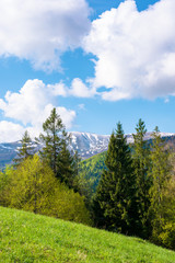 beautiful landscape in springtime. row of trees on the meadow. mountain ridge beneath a blue sky with fluffy clouds in the distance. warm bright weather