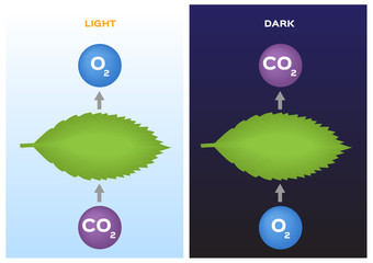 Photosynthesis and Cellular Respiration vector / leaf and plant