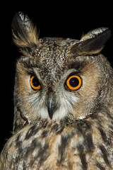 Canvas Prints Hand drawn Sketch of animals A long eared owl (Asio otus)