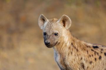 Deurstickers Hyena Portrait of a young spotted hyena (Crocuta crocuta), Kruger National Park, South Africa.