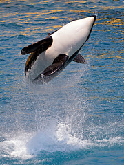 Wall Mural - Killer whale (Orcinus orca) jumping out of blue water