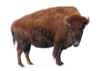 Wall Murals Bison bison stands in the snow isolated on a white background.