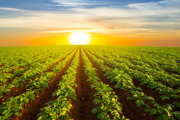 Poster Culture potato field at the dramatic sunset, outdoor agricultural scene