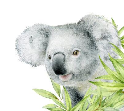 Watercolor illustration. Cute Koala bear peeking out from behind the leaves of eucalyptus.