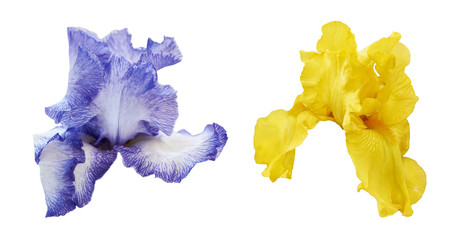 Deurstickers Iris Iris flowers in blue and yellow color isolated on white background. Set of two beautiful irises.