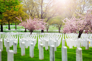 Fototapete - Rows of tombs and graves on military cemetery with blooming spring cherry tree flowers