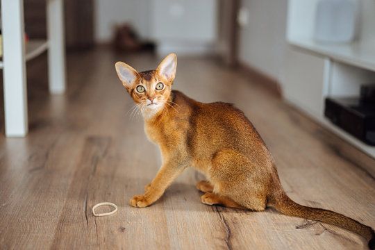 Very skinny abyssinian cat playing and jumping.