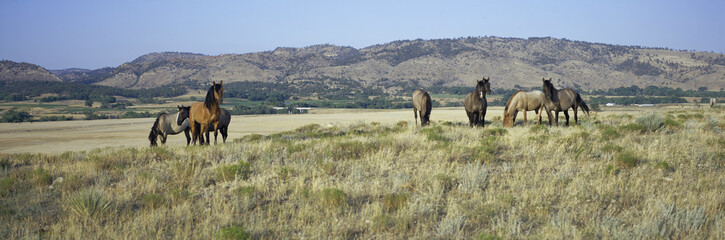 Panoramic image of wild horses of Black Hills Wild Horse Sanctuary, the home to America's largest...