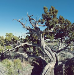 Wall Murals Tokyo 400 year old gnarled juniper tree in New Mexico Valley of Fire Park