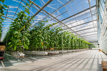 Big perspective view of growing cucumbers in a big greenhouse