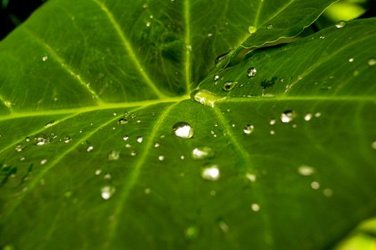 Elephant Ear green leaf plant with drops of water picture image background template