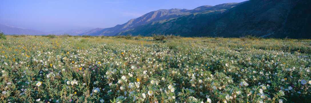Panoramic view of Desert Lillies and flowers in spring fields of Anza-Borrego Desert State Park, California