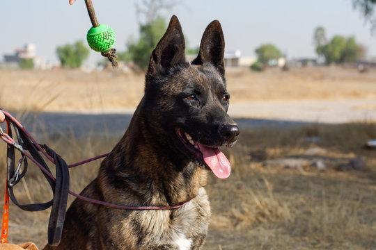 Beautiful Dutch shepherd dog looking forward on a big grassy field
