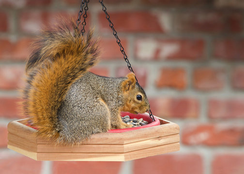 One brown squirrel on bird feeder chowing down eating. Profile view with red brick wall in background. Backyard nature