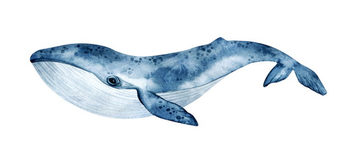 Watercolor blue whale illustration isolated on white background. Hand-painted realistic underwater animal art.