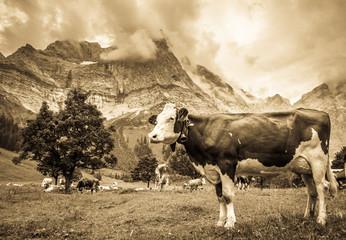 Fototapete - funny cow