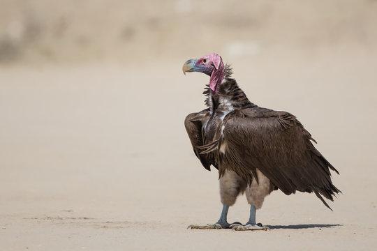 Lappet-faced Vulture in the Kalahari